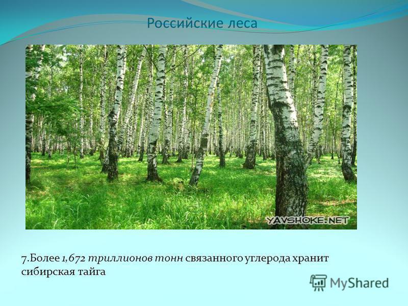 Российские леса 7. Более 1,672 триллионов тонн связанного углерода хранит сибирская тайга