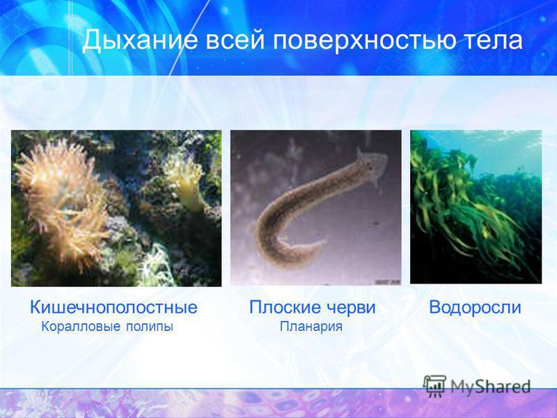 Дыхание всей поверхностью тела Кишечнополостные Коралловые полипы Плоские черви Планария Водоросли