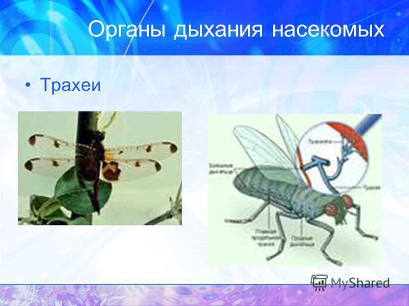 Органы дыхания насекомых Трахеи