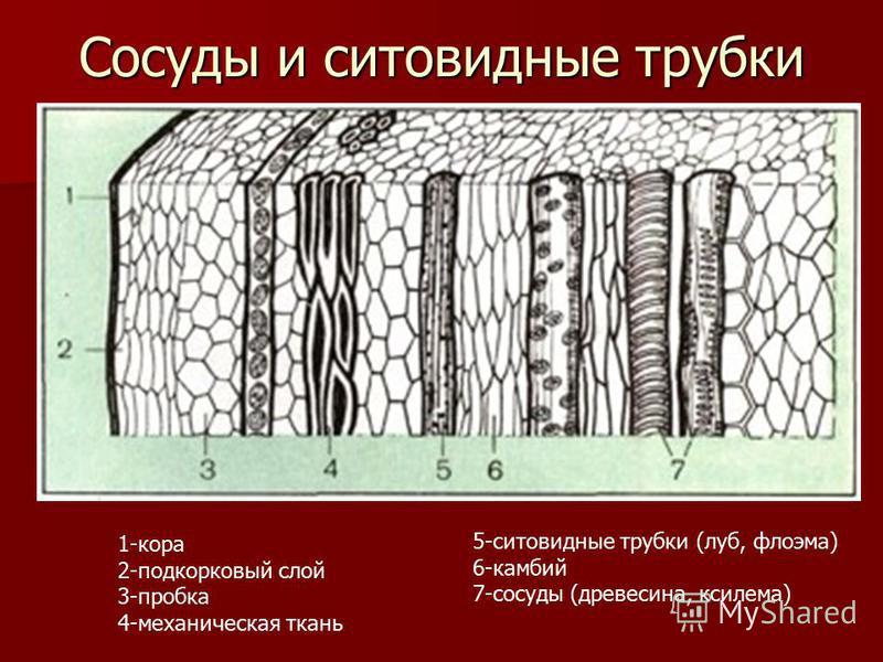 Сосуды и ситовидные трубки 1-кора 2-подкорковый слой 3-пробка 4-механическая ткань 5-ситовидные трубки (луб, флоэма) 6-камбий 7-сосуды (древесина, ксилема)