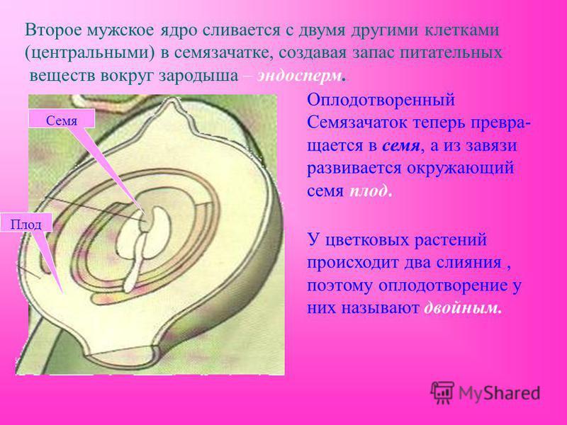 Второе мужское ядро сливается с двумя другими клетками (центральными) в семязачатке, создавая запас питательных веществ вокруг зародыша – эндосперм. Оплодотворенный Семязачаток теперь превращается в семя, а из завязи развивается окружающий семя плод.