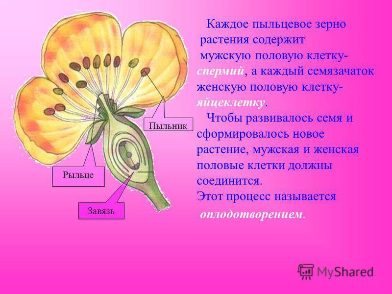 Каждое пыльцевое зерно растения содержит мужскую половую клетку- спермий, а каждый семязачаток женскую половую клетку- яйцеклетку. Чтобы развивалось семя и сформировалось новое растение, мужская и женская половые клетки должны соединится. Этот процес