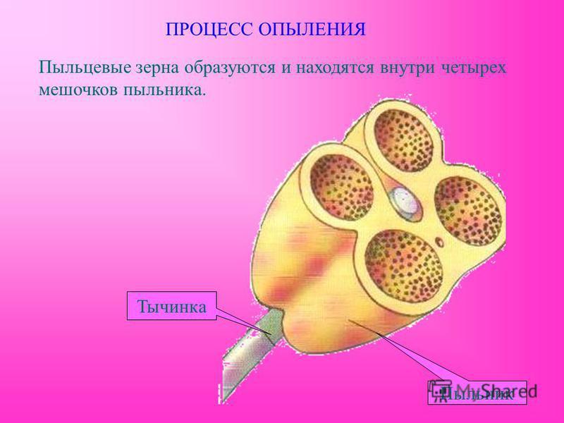 Пыльцевые зерна образуются и находятся внутри четырех мешочков пыльника. ПРОЦЕСС ОПЫЛЕНИЯ Тычинка Пыльник