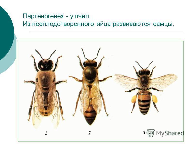 Партеногенез - у пчел. Из неоплодотворенного яйца развиваются самцы.