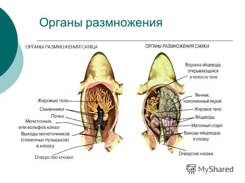 Органы размножения