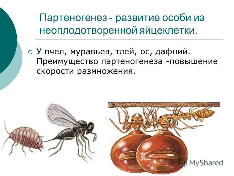 Партеногенез - развитие особи из неоплодотворенной яйцеклетки. У пчел, муравьев, тлей, ос, дафний. Преимущество партеногенеза -повышение скорости размножения.