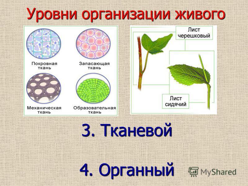 Клетки, входящие в состав многоклеточного организма, специализированны и не способны существовать самостоятельно, вне организма. Они образуют ткани и органы, осуществляющие только одну определенную функцию. 3. Тканевой 4. Органный Уровни организации