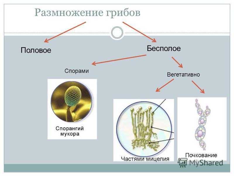 Размножение грибов Половое Бесполое Спорами Вегетативно Частями мицелия Почкование