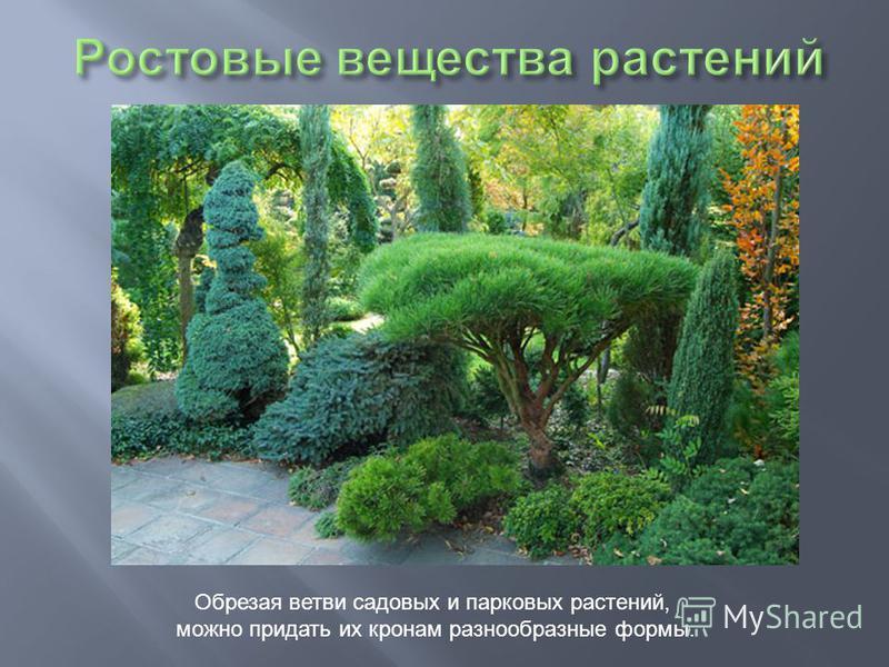Обрезая ветви садовых и парковых растений, можно придать их кронам разнообразные формы.