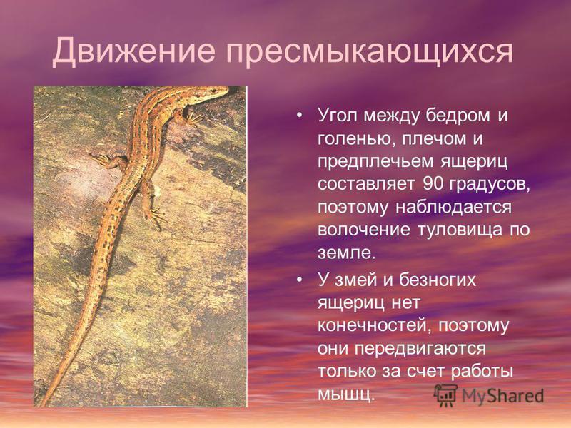 Движение пресмыкающихся Угол между бедром и голенью, плечом и предплечьем ящериц составляет 90 градусов, поэтому наблюдается волочение туловища по земле. У змей и безногих ящериц нет конечностей, поэтому они передвигаются только за счет работы мышц.