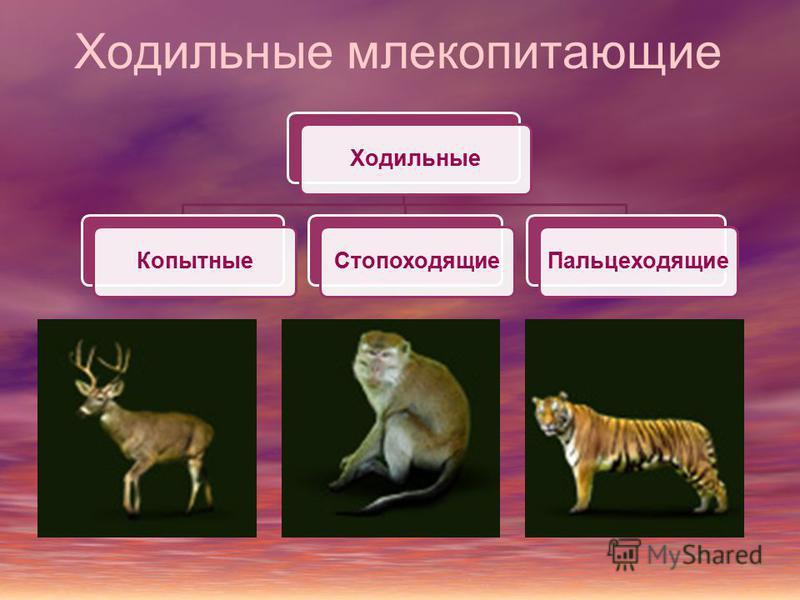 Ходильные млекопитающие Ходильные КопытныеСтопоходящие Пальцеходящие
