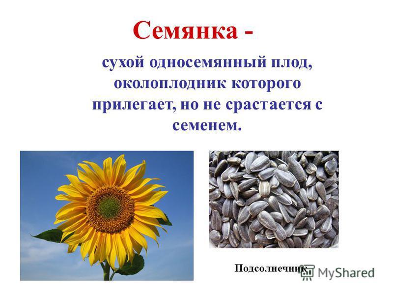 Семянка - сухой односемянный плод, околоплодник которого прилегает, но не срастается с семенем. Подсолнечник