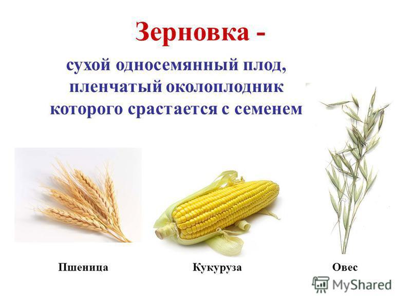 Зерновка - сухой односемянный плод, пленчатый околоплодник которого срастается с семенем Пшеница Кукуруза Овес