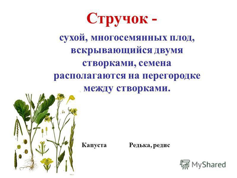 Стручок - сухой, многосемянных плод, вскрывающийся двумя створками, семена располагаются на перегородке между створками. Капуста Редька, редис