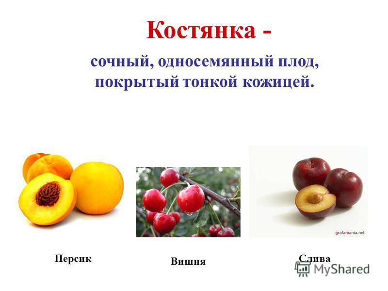 Костянка - сочный, односемянный плод, покрытый тонкой кожицей. Персик Вишня Слива