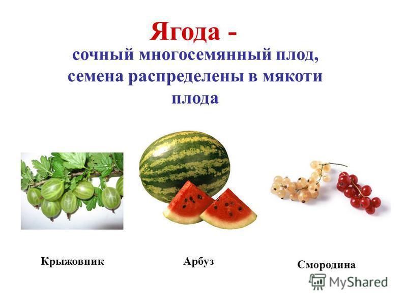 Арбуз Крыжовник Ягода - сочный многосемянный плод, семена распределены в мякоти плода Смородина