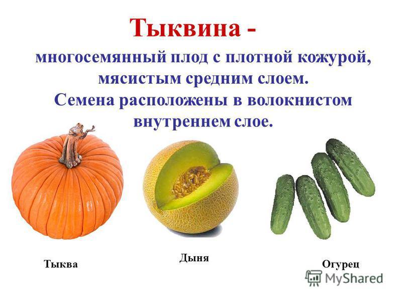 Тыквина - многосемянный плод с плотной кожурой, мясистым средним слоем. Семена расположены в волокнистом внутреннем слое. Тыква Дыня Огурец