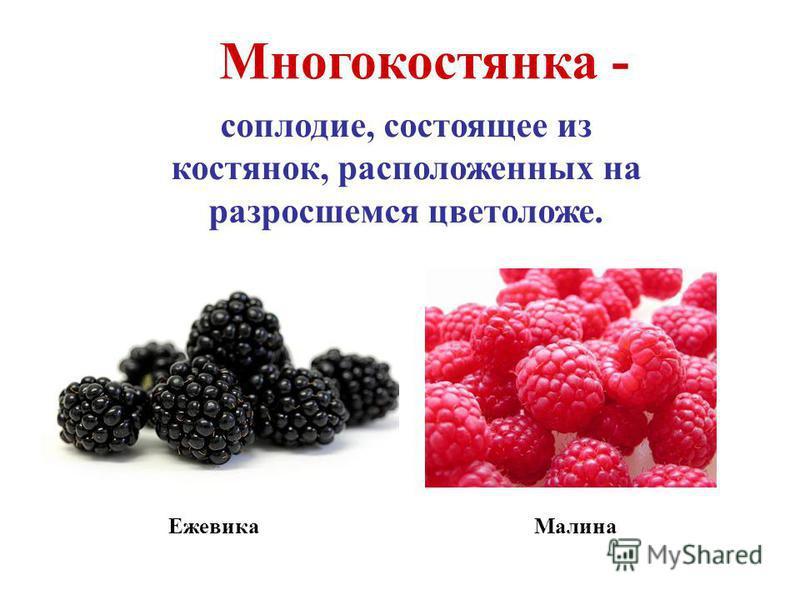 Многокостянка - соплодие, состоящее из костянок, расположенных на разросшемся цветоложе. Малина Ежевика