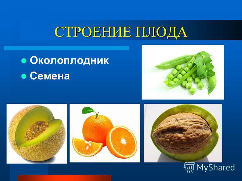 СТРОЕНИЕ ПЛОДА Околоплодник Семена