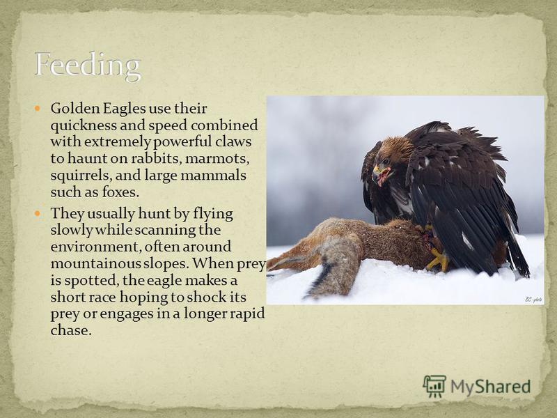 Golden Eagles use their quickness and speed combined with extremely powerful claws to haunt on rabbits, marmots, squirrels, and large mammals such as foxes. They usually hunt by flying slowly while scanning the environment, often around mountainous s
