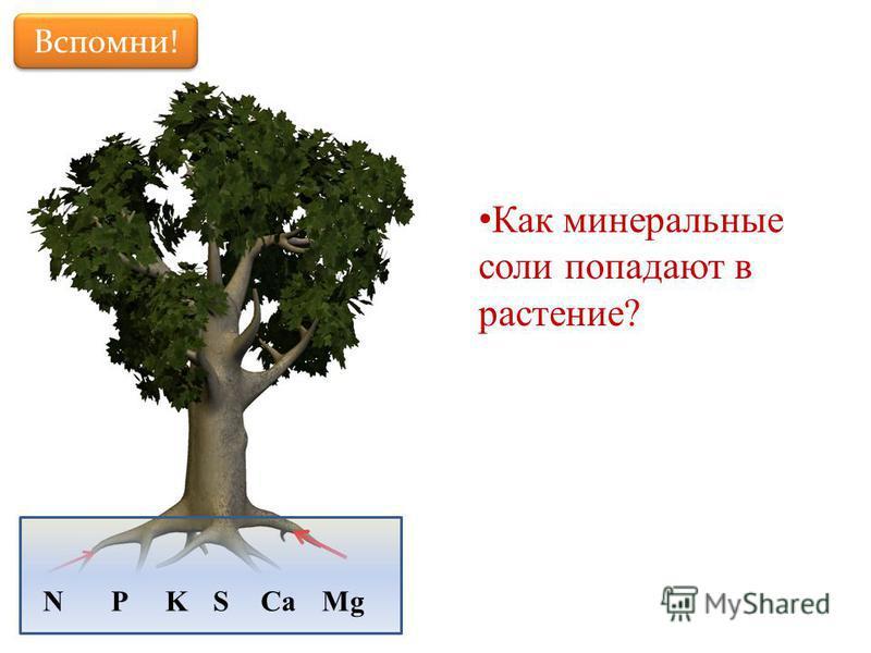 Вспомни! Как минеральные соли попадают в растение? MgNPKSCa