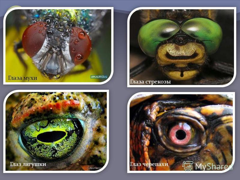 Глаза мухи Глаза стрекозы Глаз лягушки Глаз черепахи