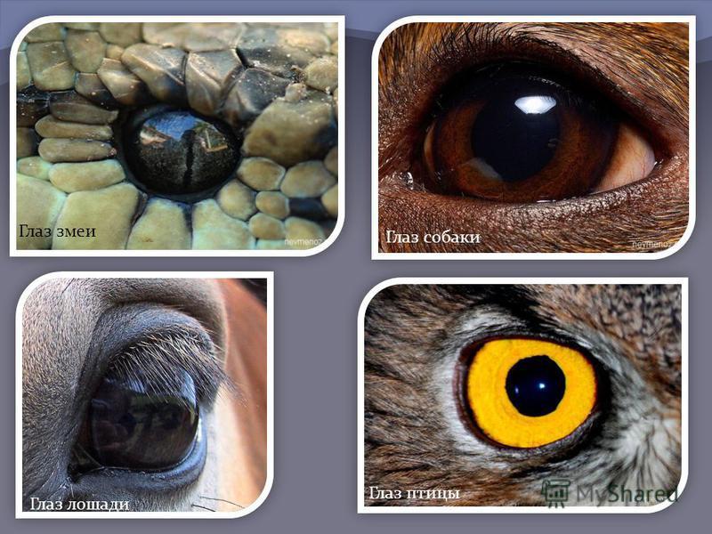 Глаз змеи Глаз собаки Глаз лошади Глаз птицы