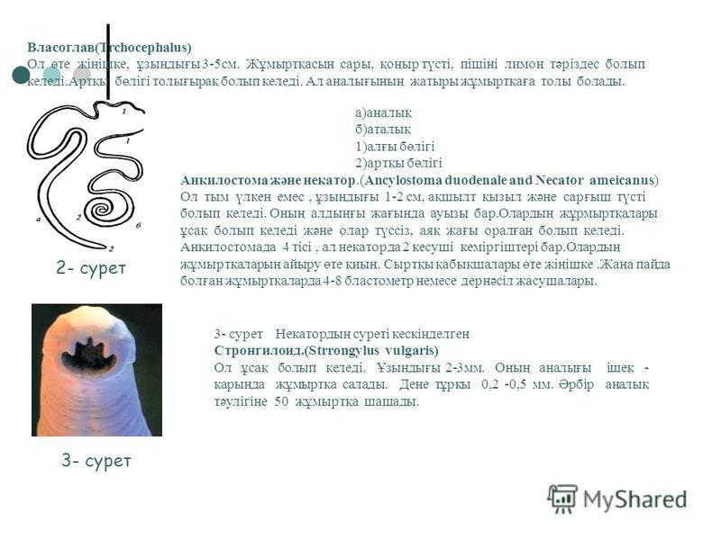 2.2Ауданнымызда кездесотін адамдағы паразит құрттар. Ішексорғы (Enteobius vermicularis) Ол ақ түсті ондай үклен емс. Құйрықты.Ол майысып келген. Аталығсының ұзындығы 9-12 мм, ал анналығсының ұзындығы 2-5 мм. Үшкір құрттың жұмыртқаларсының түсі - түсс