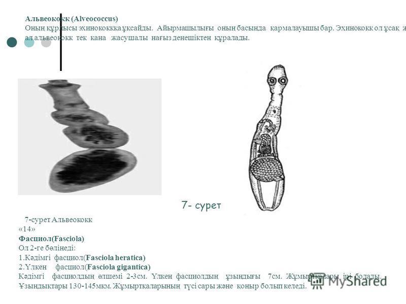 5-сурот Таспа құрттың денесі Сиыр цепені.(Taeniarhynchus saginatus) Ұзындығы 4-10 м. Бассының диамотрі 1-2 мм. Ол 1000-2000 бөліктен тұрады.Жас бөліктері бас жағттттттында болады. Оның жатыры жұмыртқаға толы болады.Жұмыртқа санны - 157000. ол адам ағ