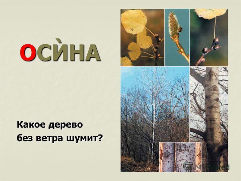 ОСЍНА Какое дерево без ветра шумит?