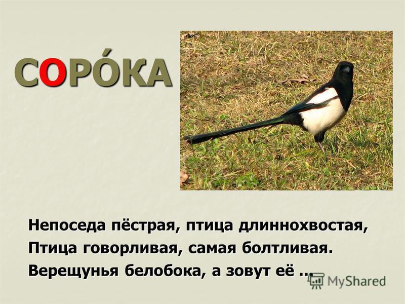 СОРÓКА Непоседа пёстрая, птица длиннохвостая, Птица говорливая, самая болтливая. Верещунья белобока, а зовут её...