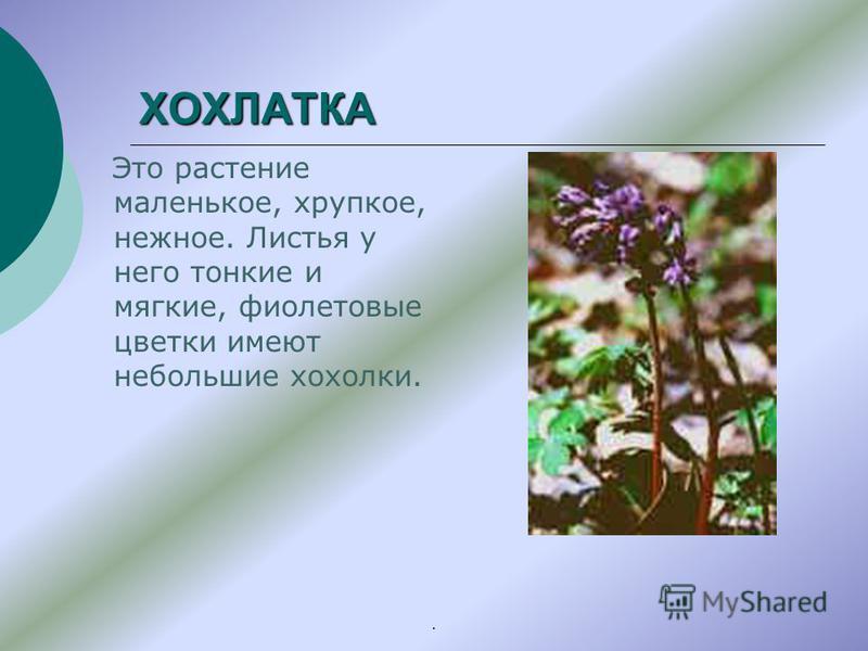 ХОХЛАТКА Это растение маленькое, хрупкое, нежное. Листья у него тонкие и мягкие, фиолетовые цветки имеют небольшие хохолки..