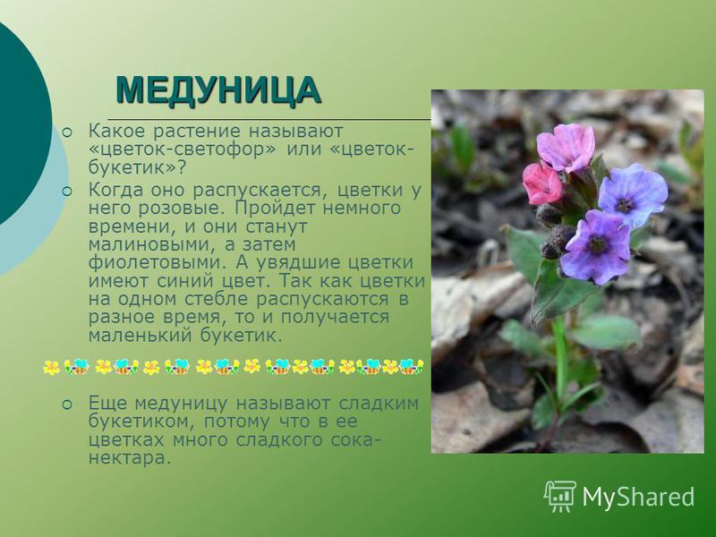 МЕДУНИЦА Какое растение называют «цветок-светофор» или «цветок- букетик»? Когда оно распускается, цветки у него розовые. Пройдет немного времени, и они станут малиновыми, а затем фиолетовыми. А увядшие цветки имеют синий цвет. Так как цветки на одном
