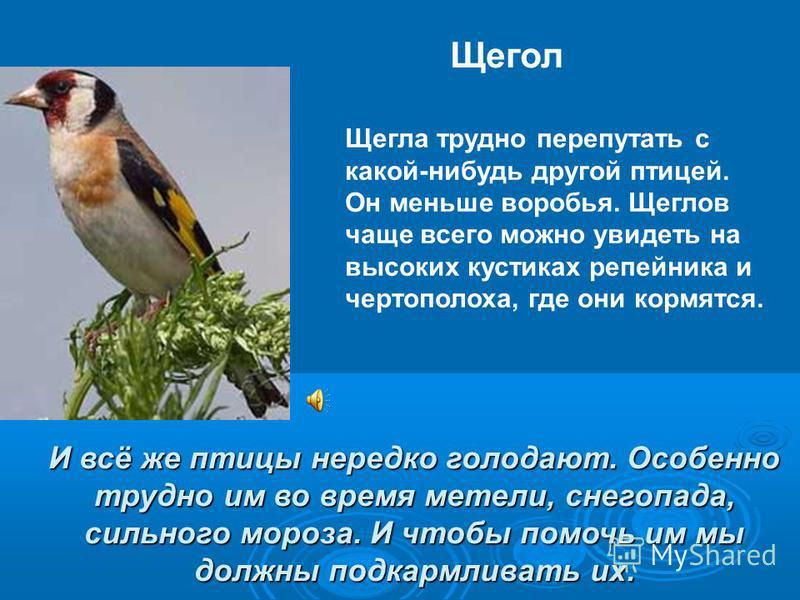 И всё же птицы нередко голодают. Особенно трудно им во время метели, снегопада, сильного мороза. И чтобы помочь им мы должны подкармливать их. Щегла трудно перепутать с какой-нибудь другой птицей. Он меньше воробья. Щеглов чаще всего можно увидеть на