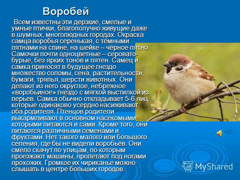 Воробей Всем известны эти дерзкие, смелые и умные птички, благополучно живущие даже в шумных, многолюдных городах. Окраска самца воробья серенькая, с тёмными пятнами на спине, на шейке – чёрное пятно. Самочки почти одноцветные – серовато- бурые, без
