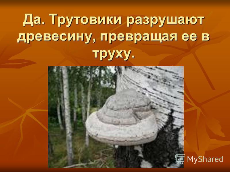 Да. Трутовики разрушают древесину, превращая ее в труху.