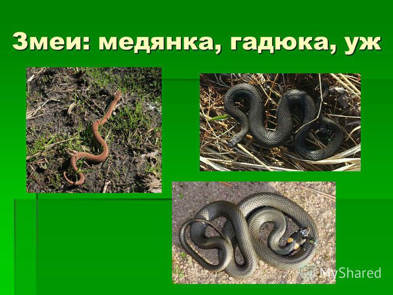 Змеи: медянка, гадюка, уж