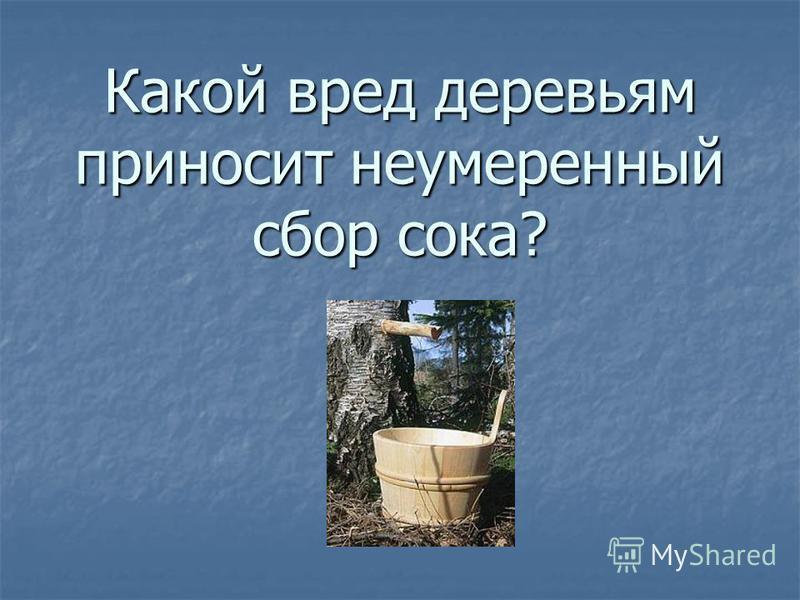 Какой вред деревьям приносит неумеренный сбор сока?