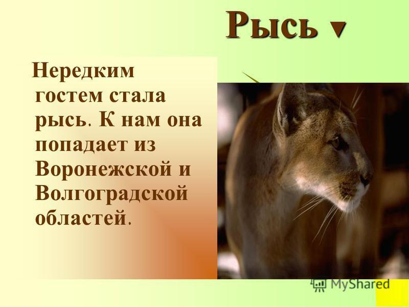 Рысь Рысь Нередким гостем стала рысь. К нам она попадает из Воронежской и Волгоградской областей.