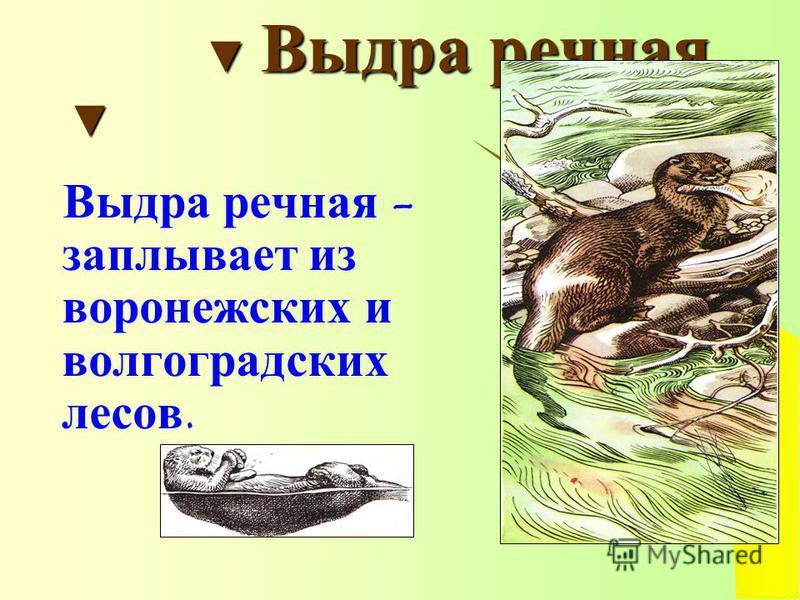 Выдра речная Выдра речная Выдра речная - заплывает из воронежских и волгоградских лесов.