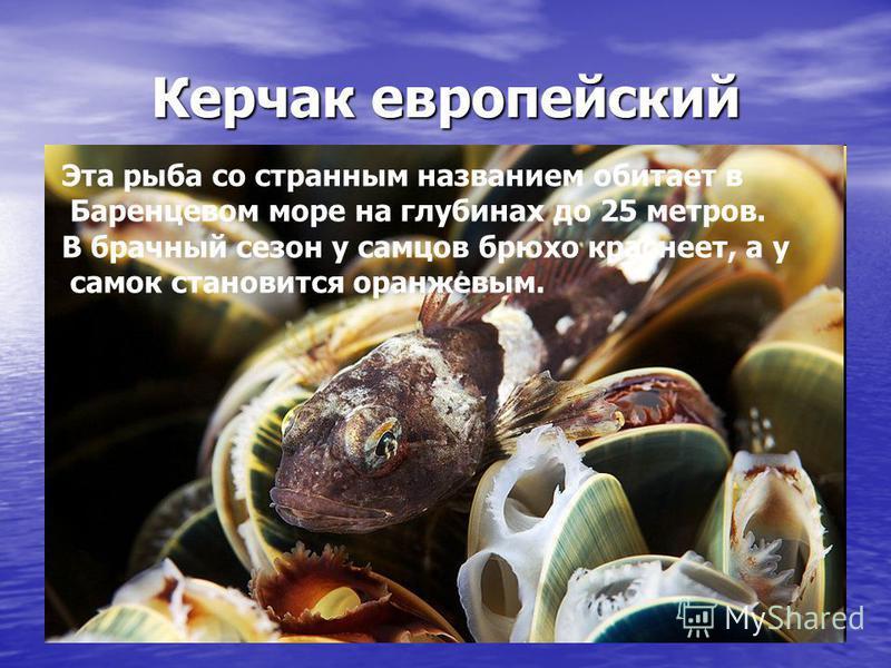 Керчак европейский Эта рыба со странным названием обитает в Баренцевом море на глубинах до 25 метров. В брачный сезон у самцов брюхо краснеет, а у самок становится оранжевым.