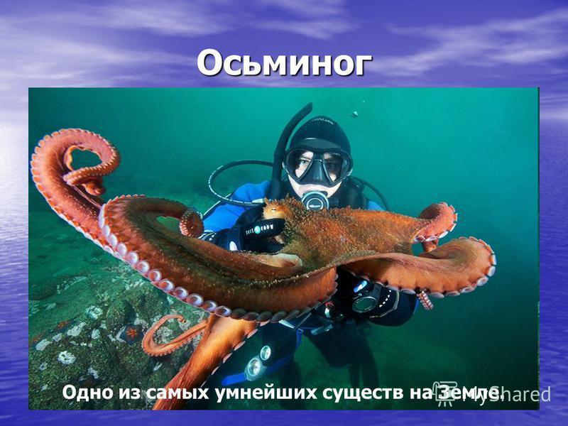 Осьминог Одно из самых умнейших существ на Земле.