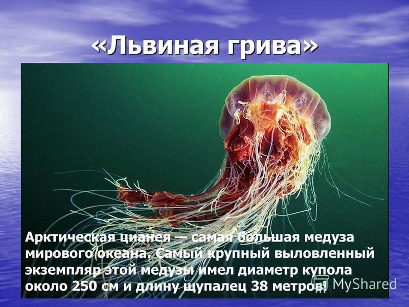 «Львиная грива» Арктическая цианея самая большая медуза мирового океана. Самый крупный выловленный экземпляр этой медузы имел диаметр купола около 250 см и длину щупалец 38 метров!
