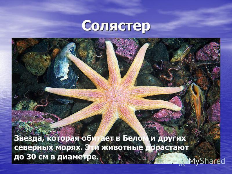 Солястер Звезда, которая обитает в Белом и других северных морях. Эти животные дорастают до 30 см в диаметре.