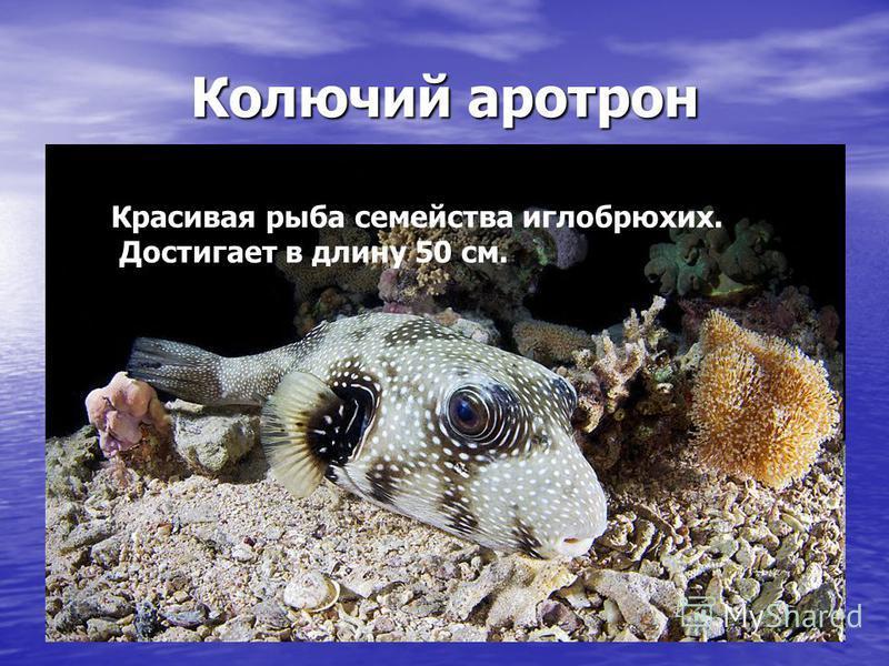 Колючий аротрон Красивая рыба семейства иглобрюхих. Достигает в длину 50 см.