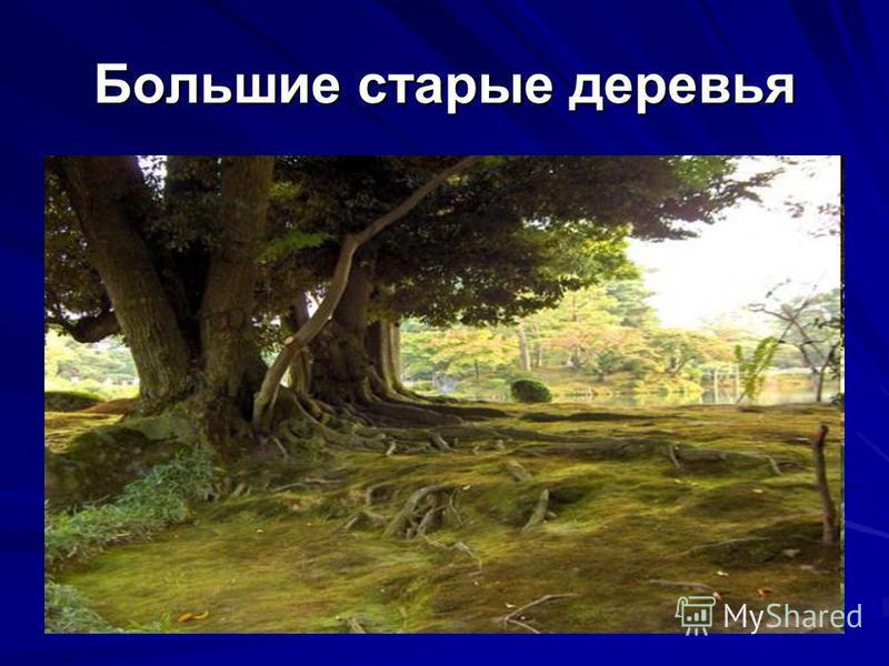 Большие старые деревья