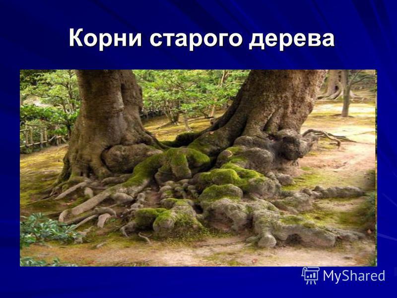 Корни старого дерева Корни старого дерева