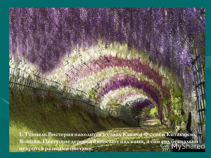 1. Туннель Вистерия находится в садах Кавачи Фудзи в Китакюсю, Япония. Цветущие деревья нависают над вами, а сам сад буквально искрится разными цветами.