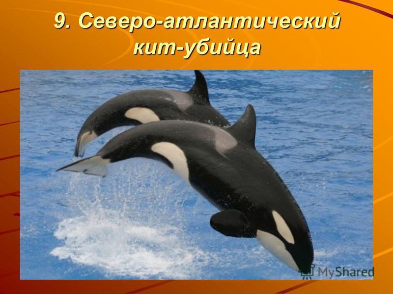 9. Северо-атлантический кит-убийца