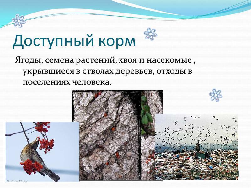 Доступный корм Ягоды, семена растений, хвоя и насекомые, укрывшиеся в стволах деревьев, отходы в поселениях человека.